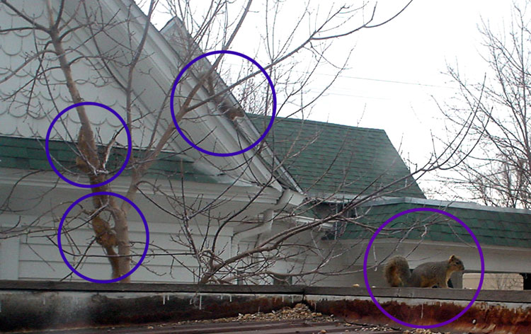 Click for slightly bigger pic.  Three sibling squirrels and the one 'first batch', bigger squirrel.
