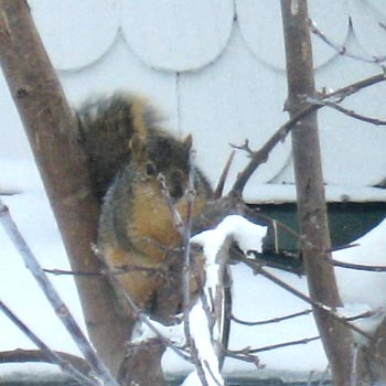Another snowy squirrel.